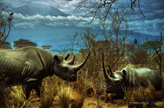 save the rhinos ... please (Kris Kros) Tags: black history museum photoshop photography high searchthebest dynamic national rhino kris range hdr rhinoceros kkg photomatix kros kriskros 5xp flickrsbest kkgallery