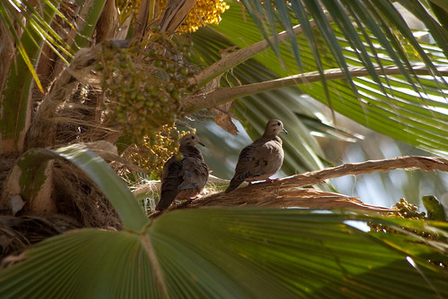 Doves and an Iguana