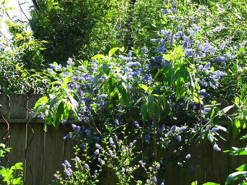 Fuchsia + Ceanothus