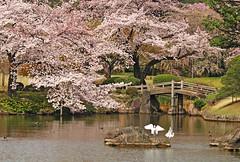 Nippon no Sakura (inoc) Tags: park morning bridge pink flowers flower color reflection nature fleur japan fleurs cherry tokyo duck spring   sakura