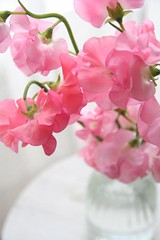 sweetpea (mamako7070) Tags: pink flowers plants white flower sweet explore sweetpea gettyimages whiteground frill whiteback