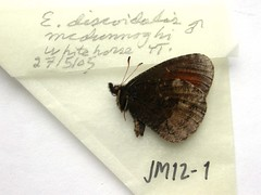 Erebia discoidalis