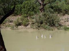 Pelicans. Pamamaroo Creek. NSW (amandabhslater) Tags: lakes australia sa southaustralia day18 2009 menindee outbacknsw burkeandwills riverdarling pamamaroocreek abcopen:project=wateris