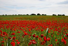 Campo de amapolas (Rafa Navarro art) Tags: flower flores amapolas miles milesdeamapolas teidoderojo full red fullred tomelloso ossademontiel ruidera rafanavarro monterojo monte