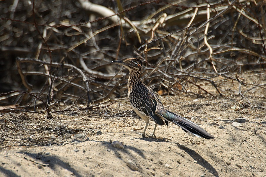 Greater Roadrunner 040910-4