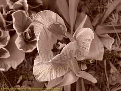 Tulipa ( Tulip ) 2004-04-17 254 Home-Spring (Badger 23 / jezevec) Tags: brown flower 2004 fleur sepia spring blossom indianapolis flor indiana tulip bloom april  plantae blume fiore tulipa blooming bloem  liliaceae  20040417   liliales jezevec  kvt angiosperms monocots vbr  wabigon badger23 lilioideae