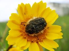 Tropinota squalida (J. Coelho) Tags: beetle coleoptera scaraboidea cetoniidae flowerchafer tropinotasqualida