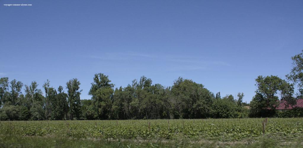 Destas vinhas nascem o vinho das areias da Camarga