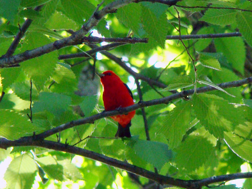 scarlet tanager II