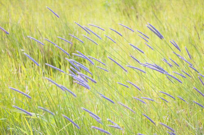 ängsgräs