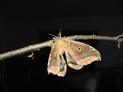 Polyphemus moth Egg laying (World Unity 9) Tags: giant silk insects lepidoptera moths worm polyphemus saturniidae