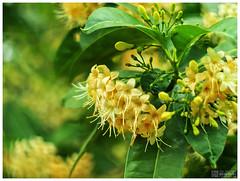 Fagraea fragrans Roxb. - กันเกรา