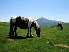 2 yeguas pastando - bi behor larrean (Olague A.) Tags: horses caballos adi yeguas urkiaga behorrak
