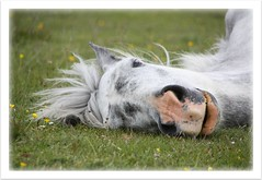 even ladies snore (romorga) Tags: life uk wild portrait england horse white english nature grass animal canon mammal eos rebel grey warm mare buttercup sleep wildlife breath gray central dream hampshire pillow explore rest british snore cavalo 2009 soe newforest naturalworld equine jerk hest feral hevonen paard lyingdown southernengland hst southeastengland  hants ko chevel newforestpony k explored 450d newforesthampshire  britishnature hampsjire feralpony  newforesthorse  innoc romorga centralsouthernengland vthenewforest ferelhorse newforestengland newforestsoutheastengland newforesthampshireengland
