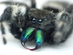 Bold Jumping Spider (Phidippus audax) (sankax) Tags: macro minnesota spider jumping minneapolis fangs stacked bold audax phidippus phidippusaudax raynox raynox250 raynoxdcr150 boldjumpingspider macroextreme raynoxdcr250 raynox150 fz8