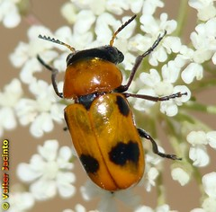 Escaravelho // Beetle (Coptocephala scopolina subsp. floralis) - by Valter Jacinto | Portugal