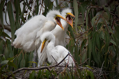 1 of 6 Two Great Egret (Ardea alba) Chicks at the Morro Bay Heron Rookery (mikebaird) Tags: baby bird birds bay nest alba postcard great birding aves ardea montanadeoro chicks morrobay egret morro greategret rookery dorian birdwatcher babybirds ardeaalba supershot bairdphotoscom slbbegging michaellbaird springoutsidetnc09 09june2009 mdopostcard photocontesttnc10 nestingbirds4andrew