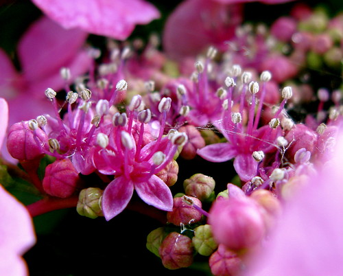 looking into the hydrangea ...