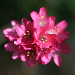 red flowers ... (_nejire_) Tags: england plant flower macro nature canon flora bokeh explore 223 530pm tamronspaf90mmf28dimacro11 nejire 400d eos400d canoneos400d mhashi 6715355g850pm18june 11am18june 14305g no332