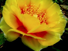 cactus flower from the side (.jocelyn.) Tags: flowers cactus orange plants flower nature yellow outside closeups cactusflower