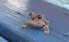 eastern spadefoot toad (Moon Rhythm) Tags: badass amphibian toad easternspadefoot