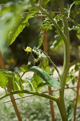 Tomato and Basil Plants