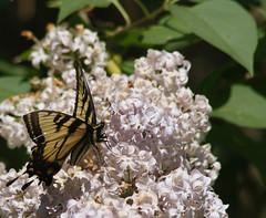 Backyard butterfly - 1 (Stephen Little) Tags: butterfly virginia lepidoptera animalia arthropoda fauquier insecta lakebrittle mothsandbutterflies tamronaf200400mmf56 jstephenlittlejr