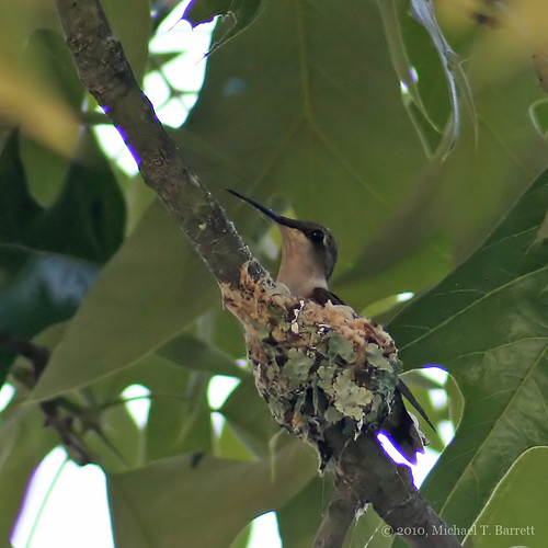 Hummingbird In The Nest #1