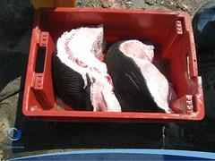 cmaximus16 (Tiburones Chile) Tags: chile peregrino diversidad biodiversidad especieamenazada tiburonperegrino sabiasquedescubre
