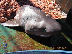 arrastre03 (Tiburones Chile) Tags: conoce pesquerias especieamenazada