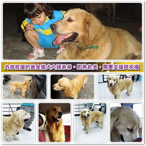 「支援與祝福」新竹內灣救援的黃金獵犬大頭弟弟,即將赴美,需要您的支援與祝福,轉PO也是很重要,謝謝您,20100522