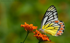 Common jezebel on lantana (Sandeep Somasekharan) Tags: flower green colors butterfly garden nikon colorful bokeh sandy nikkor lantana 300mmf4 deliaseucharis d300s sandeepsomasekharan perididae sandyclix