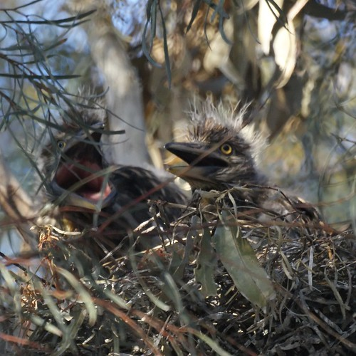 Black-crowned Night Heron Chicks