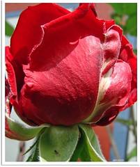 Rose geöffnet, Wirtshaus geschlossen - rose is open, pup is closed