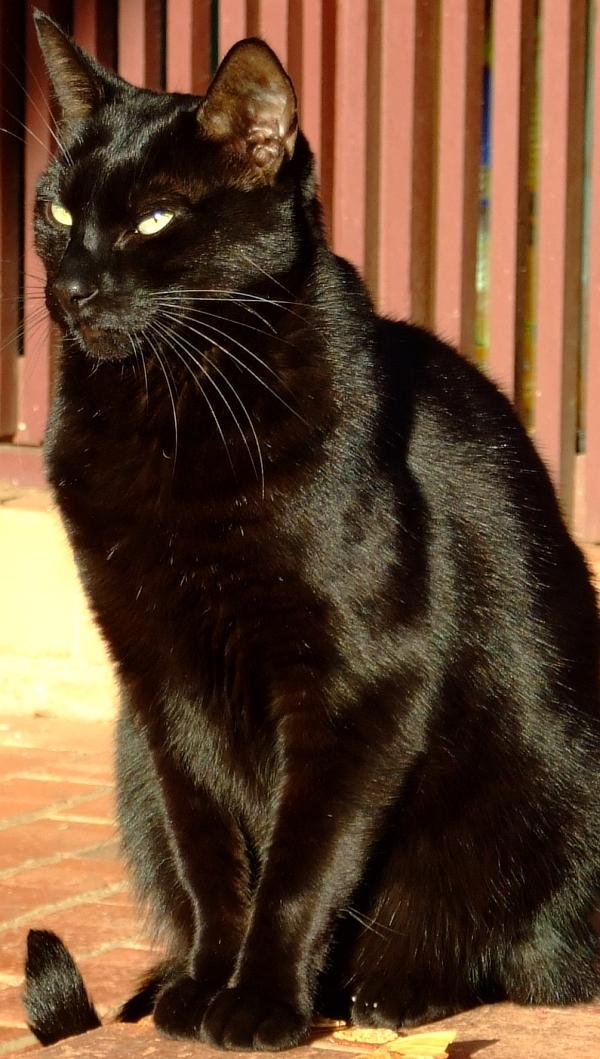 bagheera-the-panther