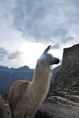 Machu Picchu, alpaca and sunrise