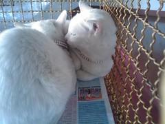 ฝาแฝดแมวตาสองสี