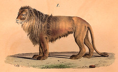 Lion / Leo (CGoulao) Tags: old animal illustration king image estudo selva lion picture leon atlas felino antiga animaux ilustrao rei desenho leo planche imagem ancienne antigo studie zoology estudar selvagem gravura sauvage 1833 mamfero zoologia buffon trait gravure juba savane zoologie carnvoro