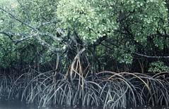 Vanuatu, Banks Islands mangrove, 1987 (paulvanwijmeersch) Tags: islands mangrove banks vanuatu
