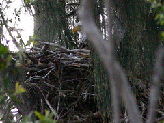 Eaglet not visible