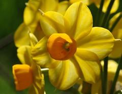 Sunnyside Face~ (~ Stormin' Arizona ~) Tags: orange flower macro nature yellow bokeh mygarden jonquil hbw sooc narcissius nikkor105mmmicrolens