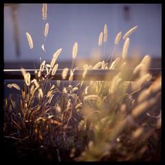 (gullevek) Tags: light plants brown sunlight 6x6 japan geotagged iso100 tokyo weed kodak bokeh seeds      rolleiflex28c epsongtx900 autaut kodakektachromeepn100 geo:lat=35659582 geo:lon=13975899