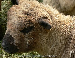 THIS IS MY BETTER SIDE.... BUT I HAVE A LITTLE HAY UNDER MY EYE, CAN YOU TAKE IT OFF??? PLEASE!!!!!!! (Frozen in Time photos by Marianne AWAY OFF/ON) Tags: nature animals sheep animalplanet farmanimals noahsark thezoo animalphotography youlookinatme septemberfest friends~ hamiltonnewjersey hamiltonveteranspark flickrfarm nationalgeographicwannabes nationalgeographicareyougoodenough worldofanimals heartawards animalswithattitude extraordinarycompositions anawesomecloseupnopeople superamazingshots ilovemypics natureunlimitedpublicgroupforever veteransparl naturegreenstar naturescreations 9142008 septemberfest2008 nationalgeographiswannabes