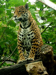 Edinburgh Zoo (The PriMe) Tags: zoo edinburgh leopard lightiq