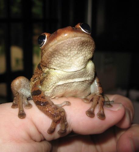 cuban tree frog7