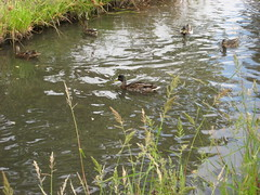 Duck Circle copy
