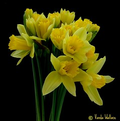A host of golden daffodils (Vanda's Pictures) Tags: flowers yellow petals spring vanda daffodils excellence anawesomeshot anuniverseofflowers