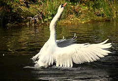 swan in a flap (coral.hen4800) Tags: life trees wild white pond woods squirrel gray parks swans naturepeople theunforgettablepictures