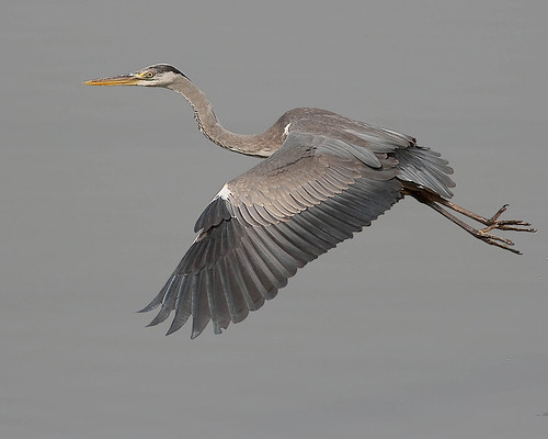Garça-real / Grey Heron