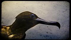 Maybe If You Try to Find Me (Dalmatica) Tags: blue portrait bird photoshop dead edited widescreen seagull profile beak taxidermy 169 dalmatica marianatomas leicadlux3 l10606673e